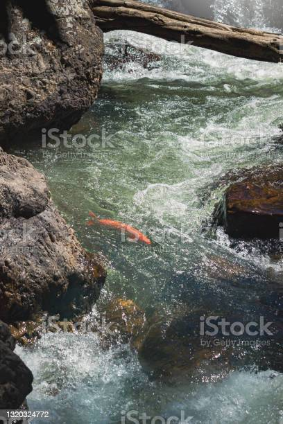 Photo of Red fish swimming in clean and fresh fast flow water.