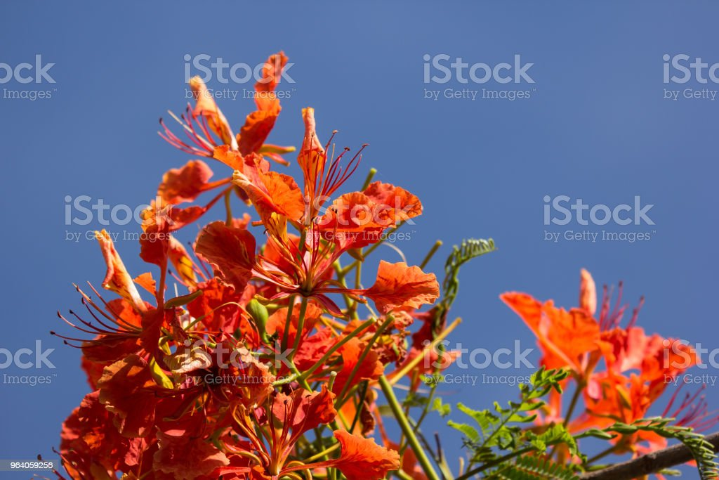 Red Flamboyant flower - Royalty-free Abstract Stock Photo