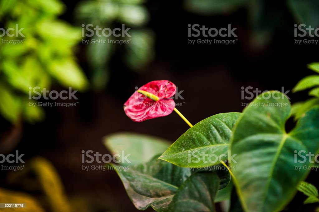 Red flamingo flowers Anthurium andraeanum stock photo
