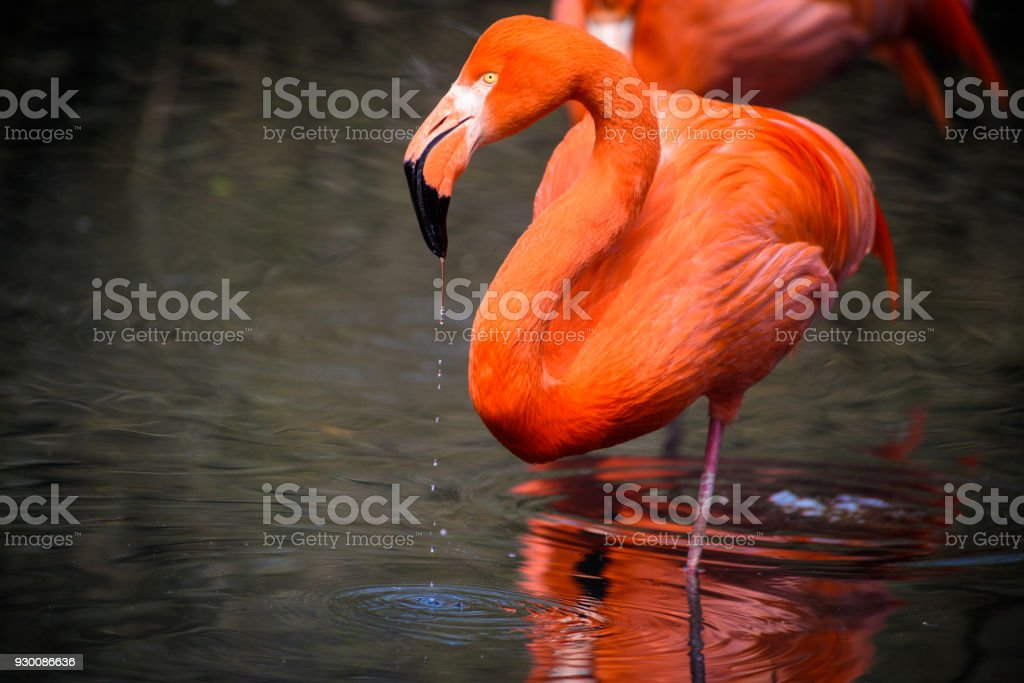 Red flamingos in natural enviroment - foto stock