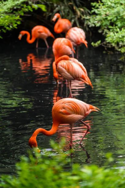 Red Flamingos in natural enviroment - foto stock