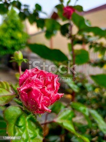 istock red floret 1288966107