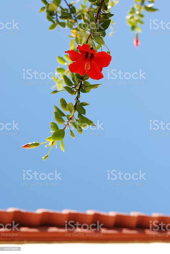 Red flower above the roof royalty-free stock photo
