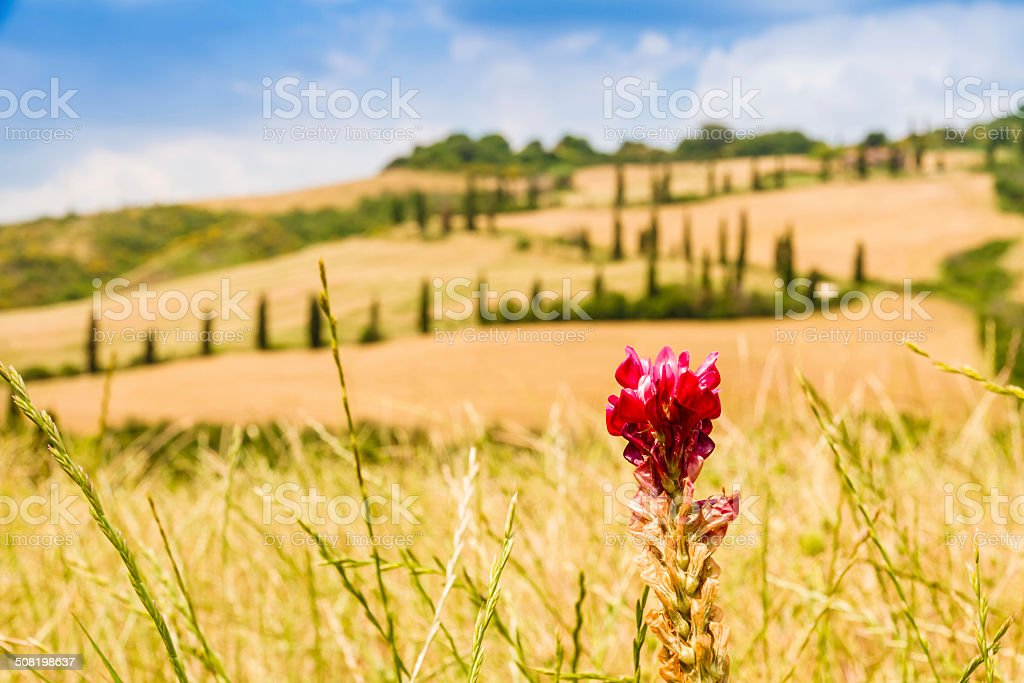 red flower and winding road in crete senesi Tuscany, Italy stock photo