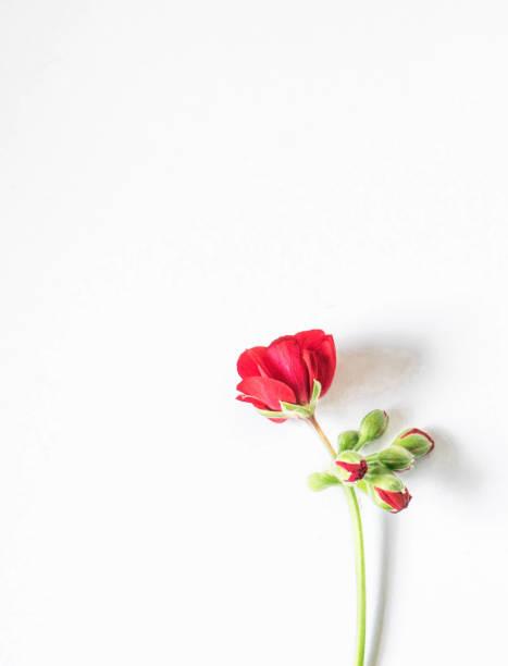 Red flower anemone isolate on white background picture id1064334048?b=1&k=6&m=1064334048&s=612x612&w=0&h=xaxohjkufyvbrk 7xginju1wyac7lwk3xkzx  azfcg=