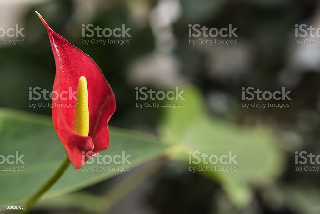 red flower anthurium stock photo