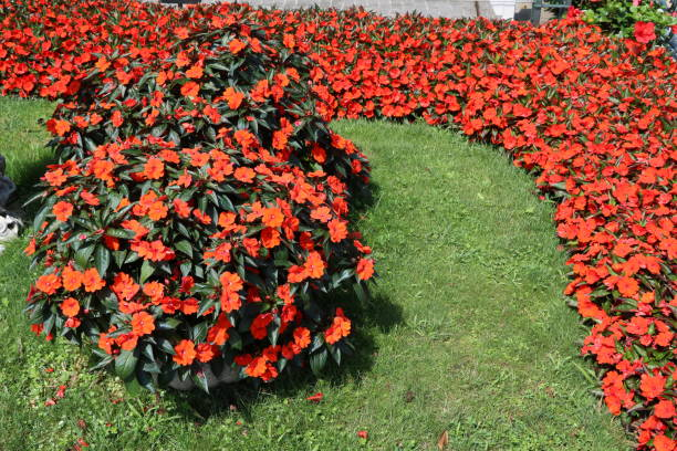 Red flower bed of New Guinea Impatiens in summer stock photo
