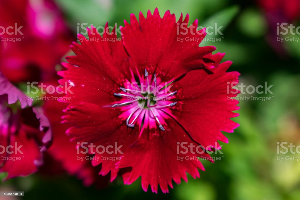red flower bloom with pink stock photo
