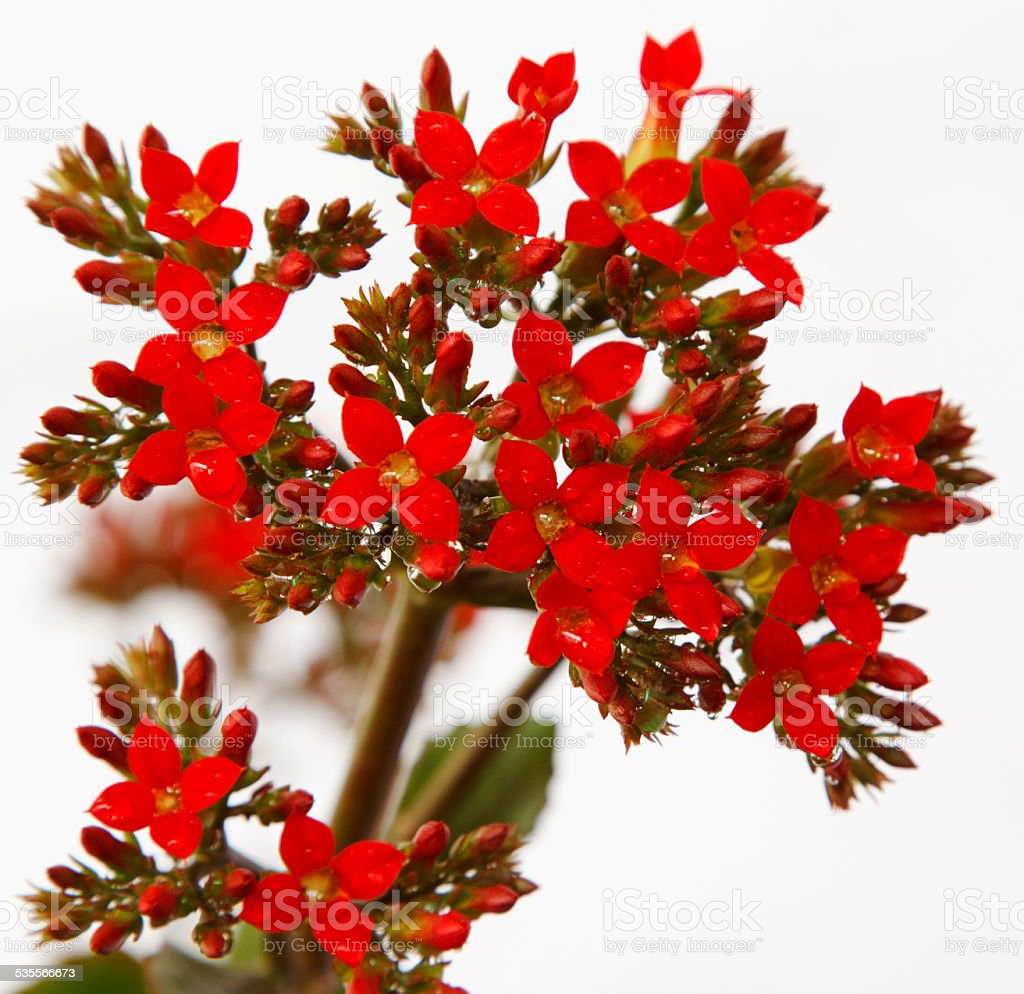 Red flower bunch against white stock photo