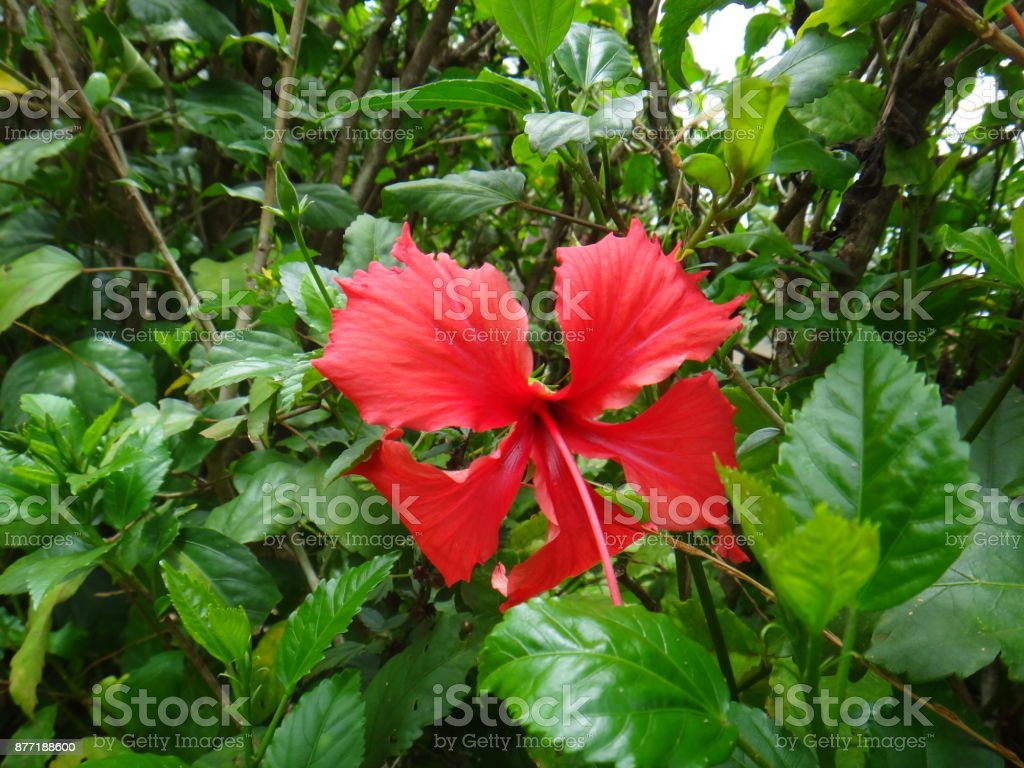 Red flower - Chinese hibiscus stock photo