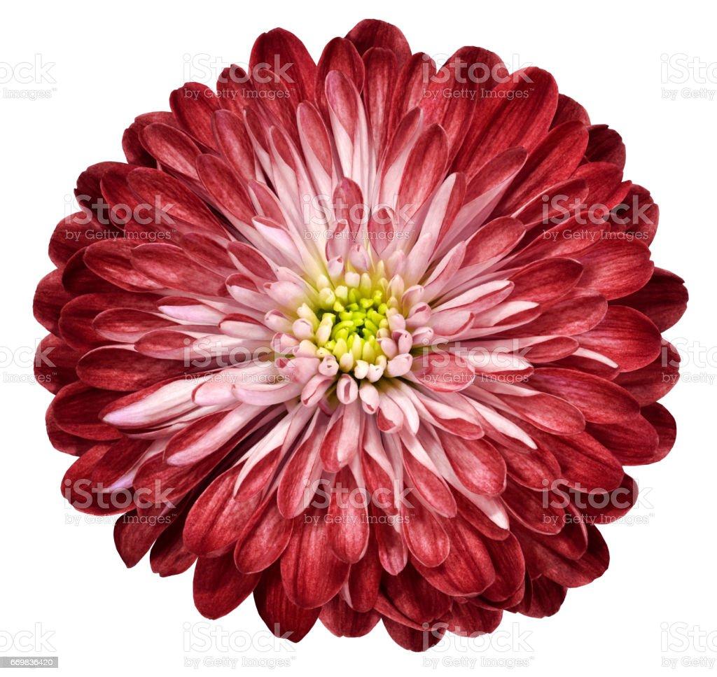Red Flower Chrysanthemum Garden Flower White Isolated Background ...