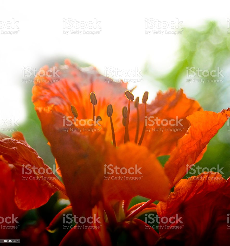 red flower close up royalty-free stock photo
