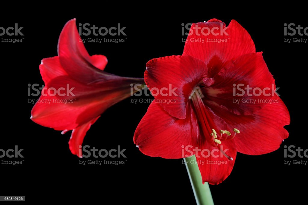 red flower close-up on a black background foto stock royalty-free