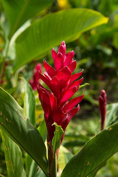 Red Flower costa rica tropical garden stock photo