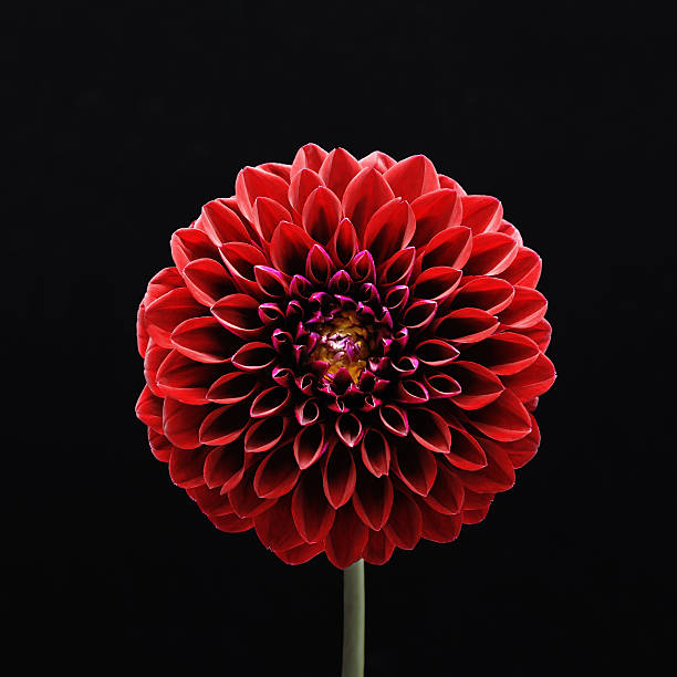 Red flower Dahlia - Photo