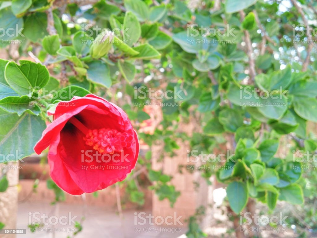 Red Flower Faces Winter alone royalty-free stock photo