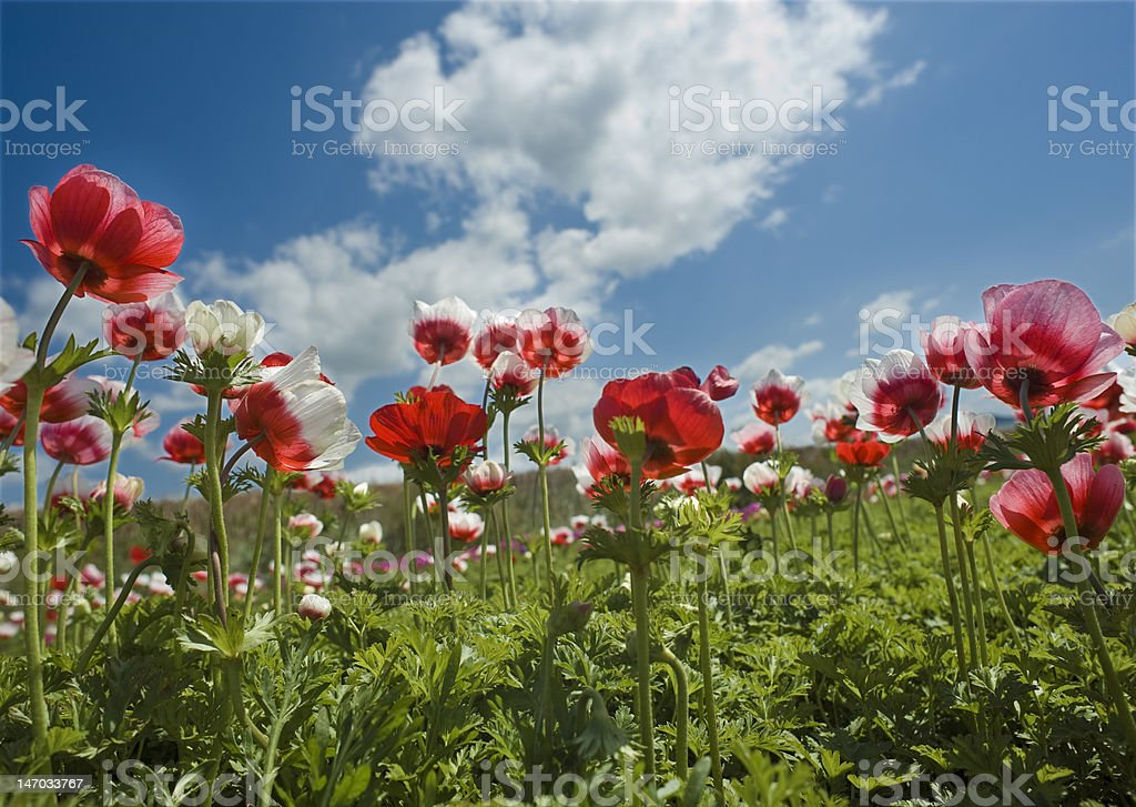 red flower field stock photo