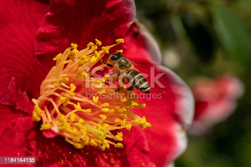Red flower in full blossom with a bee during spring time with more flowers in the background