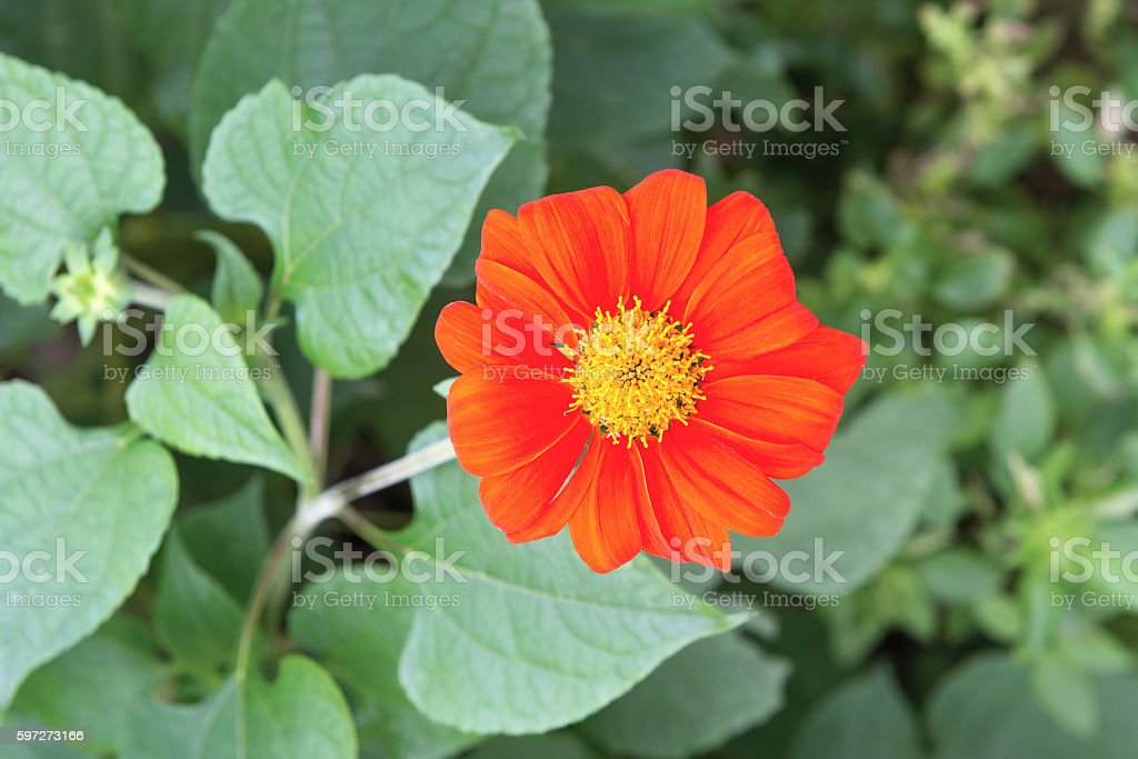 Red flower in nature royalty-free stock photo