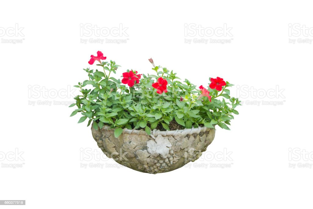 red flower in pot isolated whit background stock photo