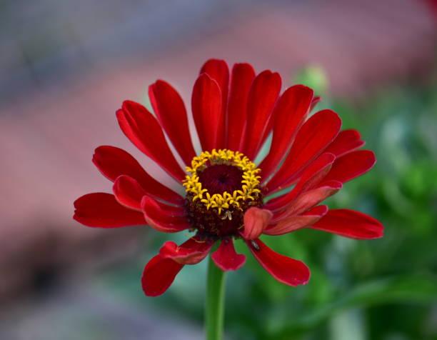 Rote Blume im Garten – Foto