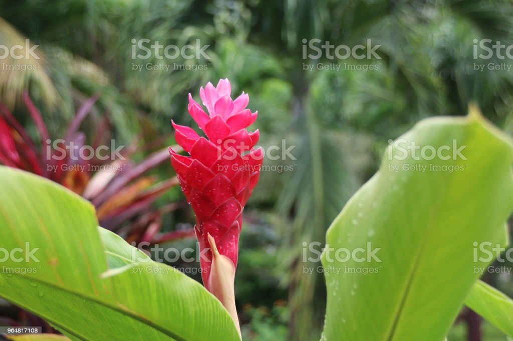 Red Flower of a Musaceae, Banana royalty-free stock photo
