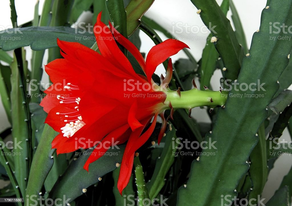 red flower of cactus with white pollen royalty-free stock photo