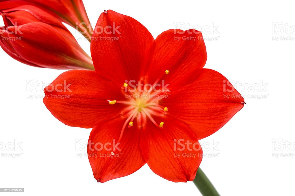 Red flower of Clivia, closeup, isolated on white background stock photo
