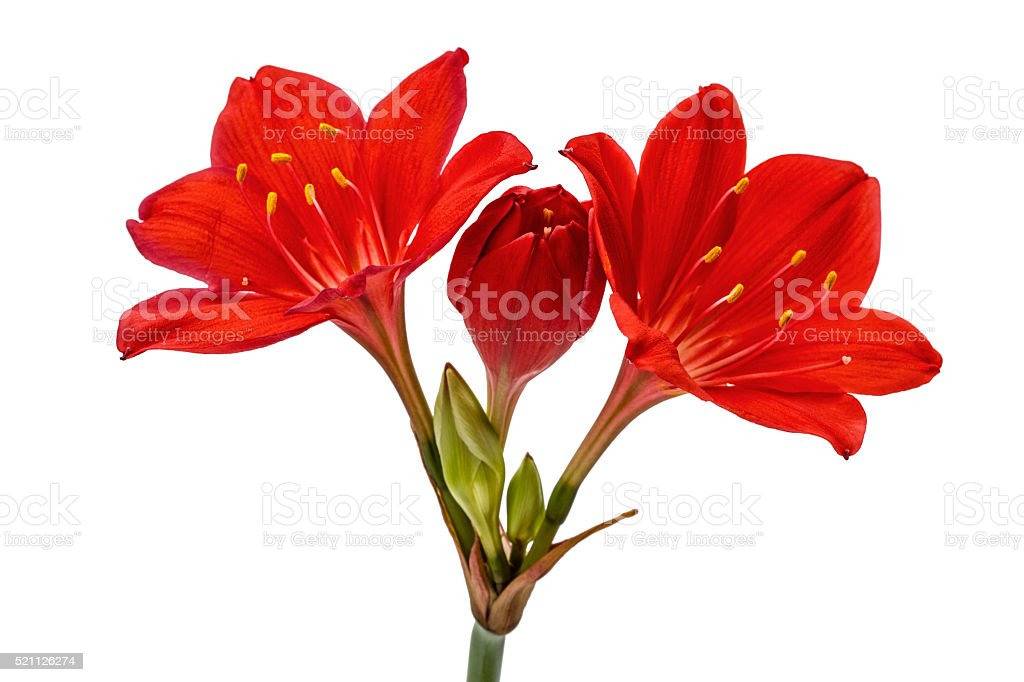 Red flower of Clivia, isolated on white background stock photo