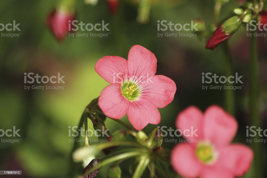 Red Flower of Four Leaved Clover royalty-free stock photo