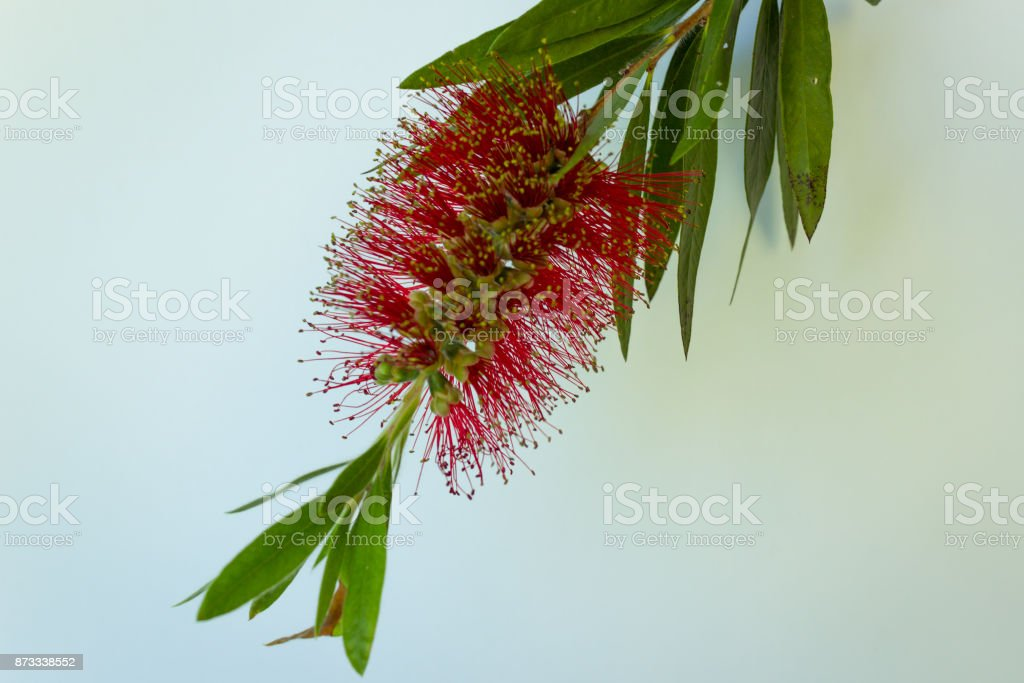 red flower of the Callistomen bush, also known as a bottle brush stock photo