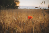 Red flower on a golden meadow