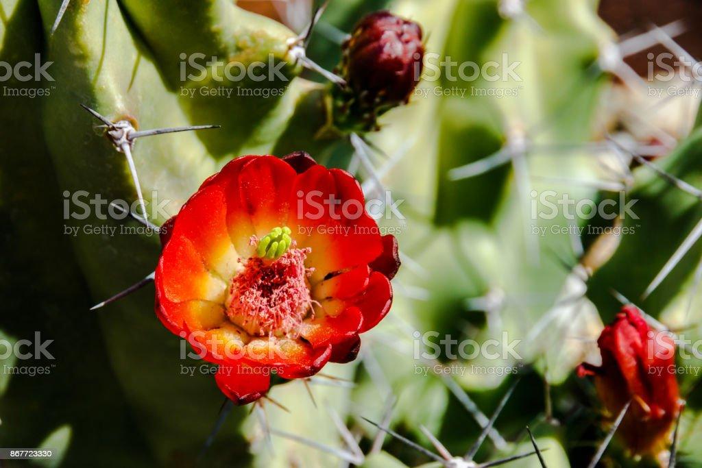 Red flower on hedgehog cactus stock photo