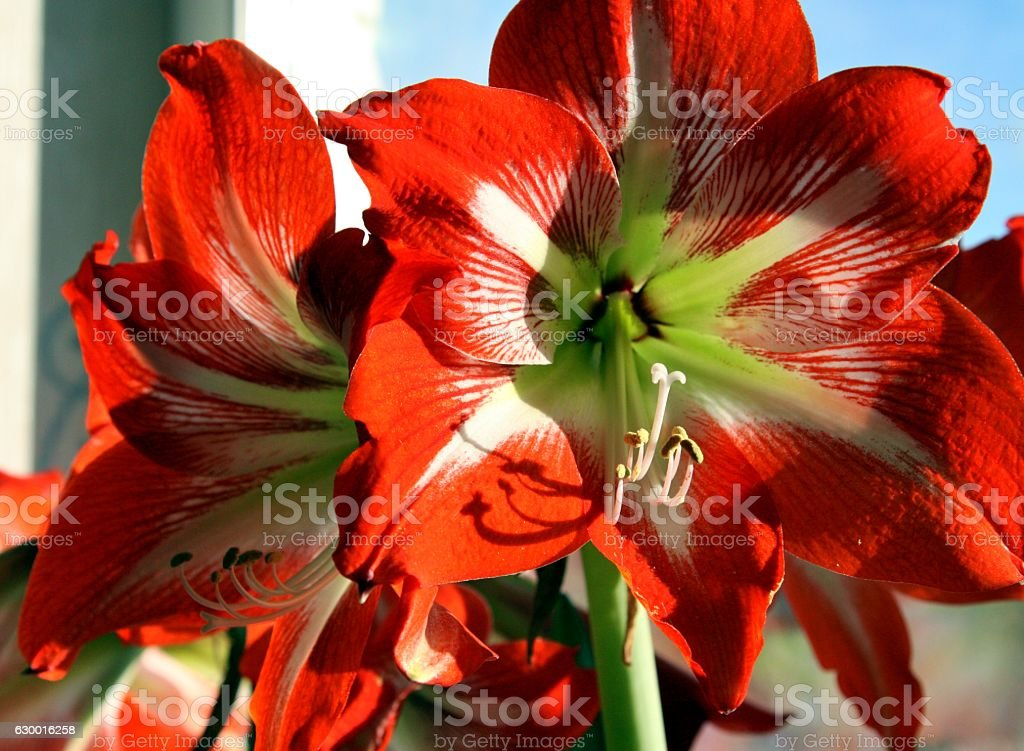 red flower on with latin name Amaryllis or Hippeastrum. Selected stock photo