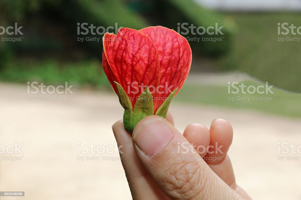 Red flower petals in woman's hand stock photo