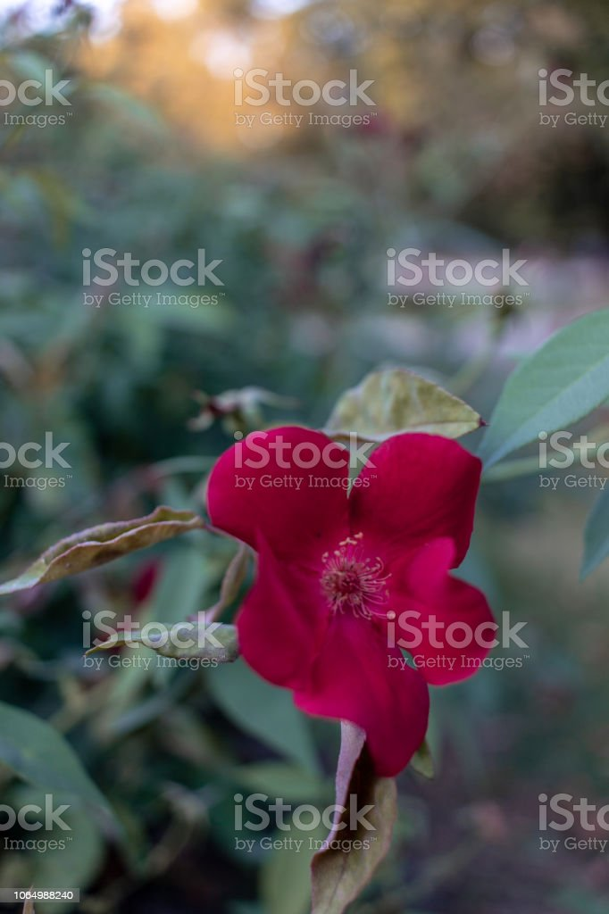 Red flower - foto stock