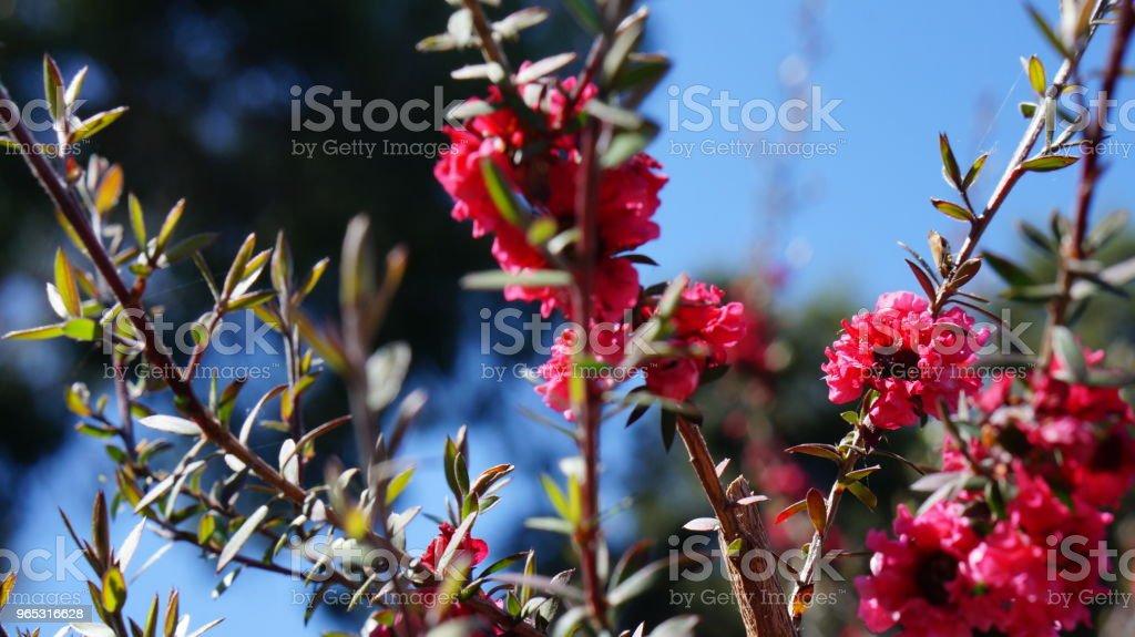 Red flower zbiór zdjęć royalty-free