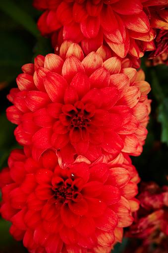 Röd Blomma-foton och fler bilder på Blomkorg - Blomdel