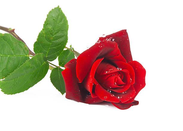 Red flower rose picture id162437433?b=1&k=6&m=162437433&s=612x612&w=0&h=qzn4x796q8v6lde2shffee613bbvvf0 h2uh37b4un4=