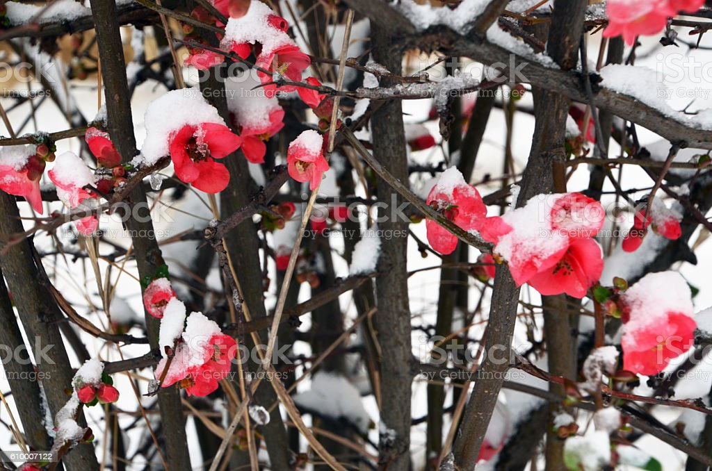 Red flower snow stock photo
