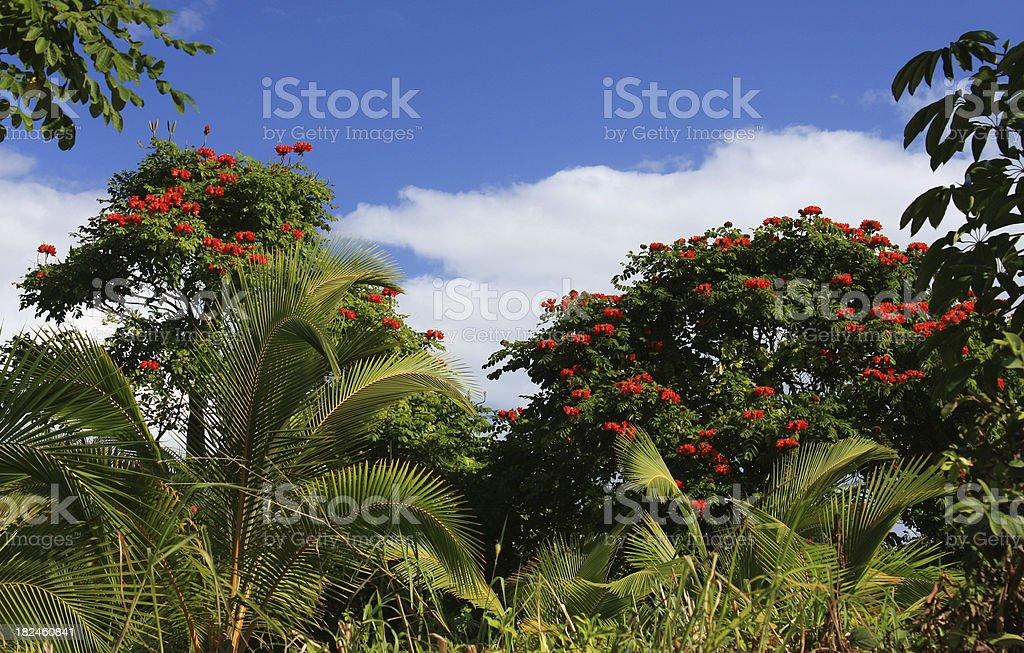 Flor roja árboles y palmeras en Hawai foto de stock libre de derechos