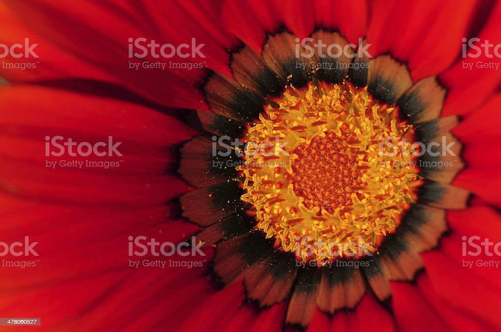 Red flower, U.K. royalty-free stock photo