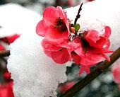 Red flower under snow in spring