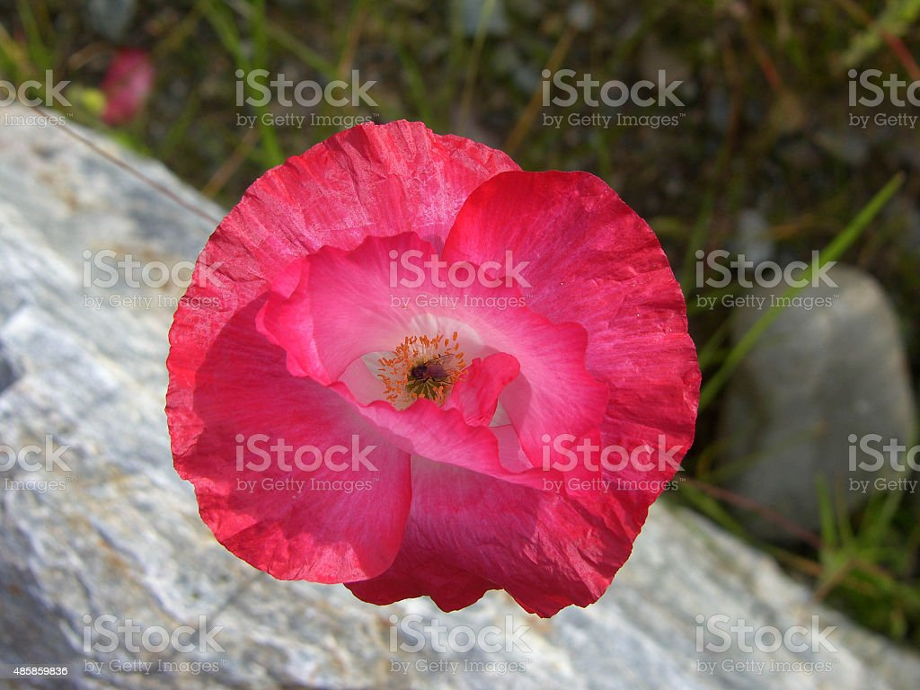 Red flower with fly stock photo