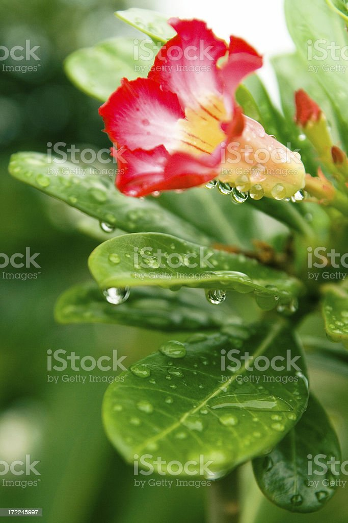 Red Flower with raindrops stock photo