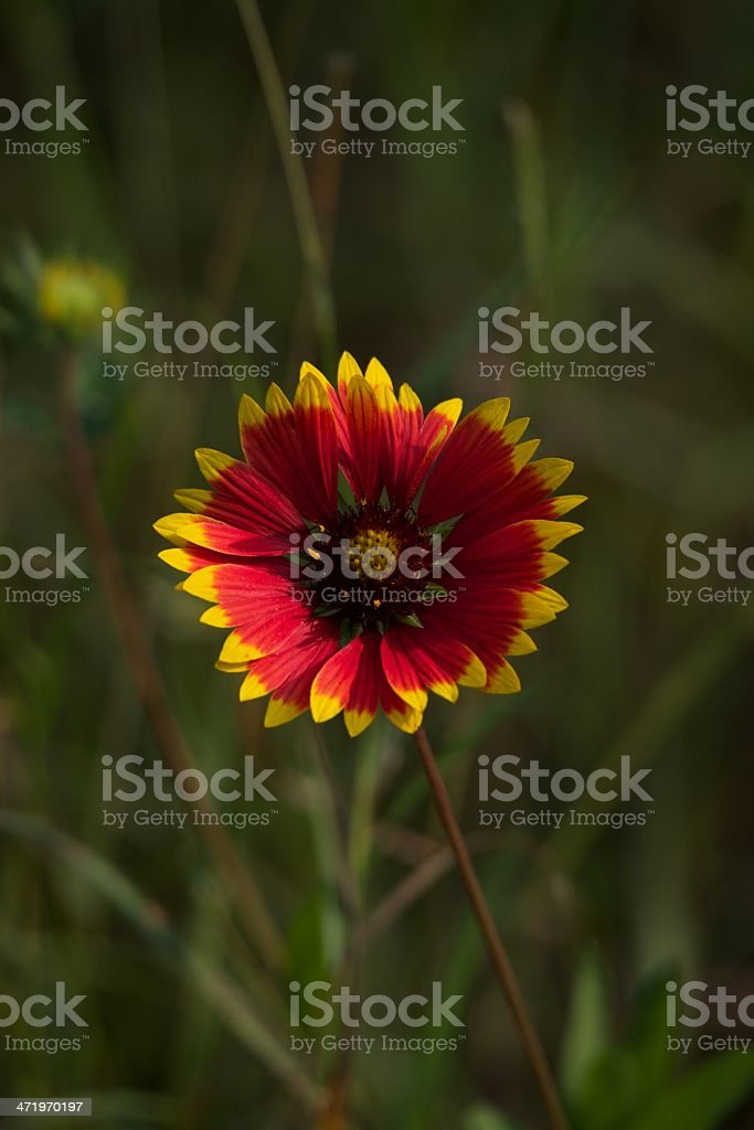 Red flower with yellow tips to petals stock photo more pictures of red flower with yellow tips to petals royalty free stock photo mightylinksfo