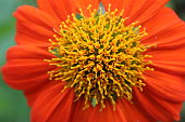 Red flower zinnia in formal garden,copy space