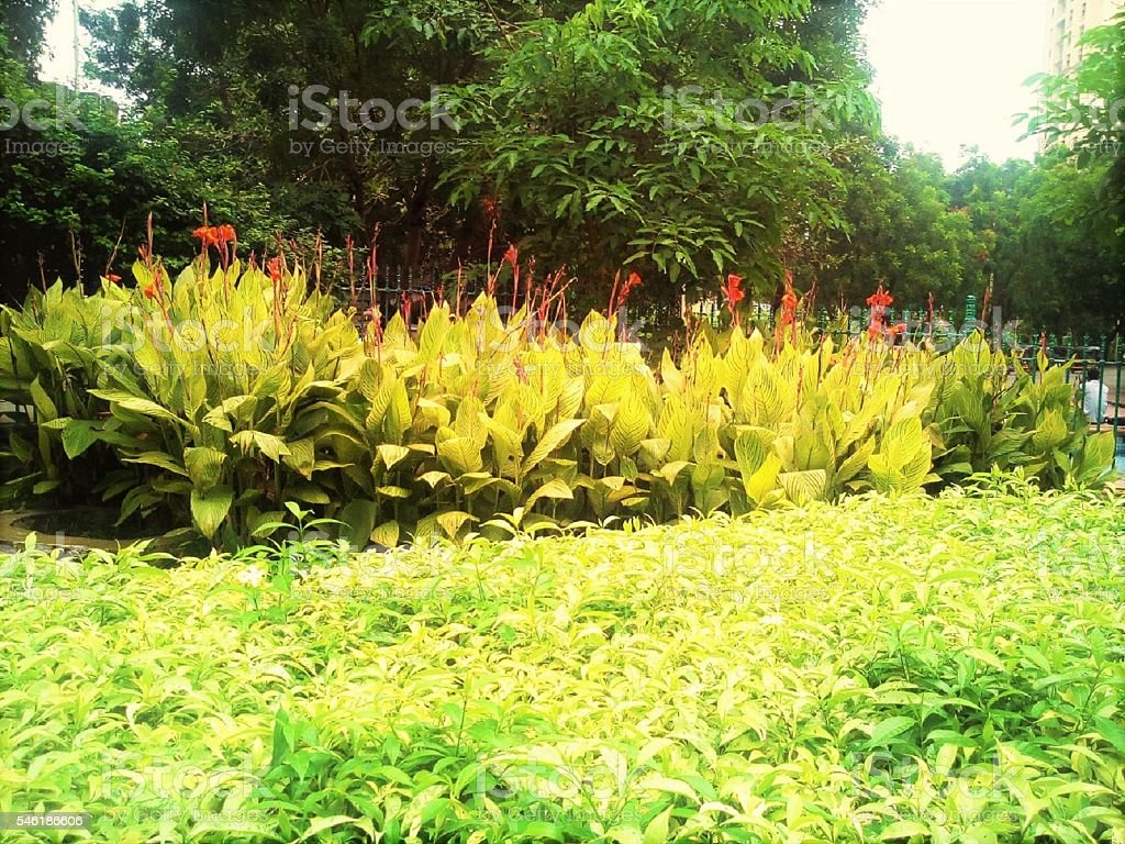 Red Flowerbed Long stemmed red flower plants with big whorled leaves. A bed of green leaves in front of red flowerbed.  Flower Stock Photo