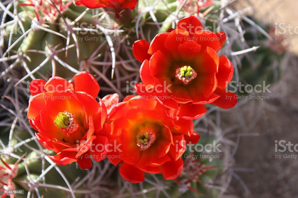 Red flowering Echinocereus triglochidiatus, Saguaro National Park, USA stock photo