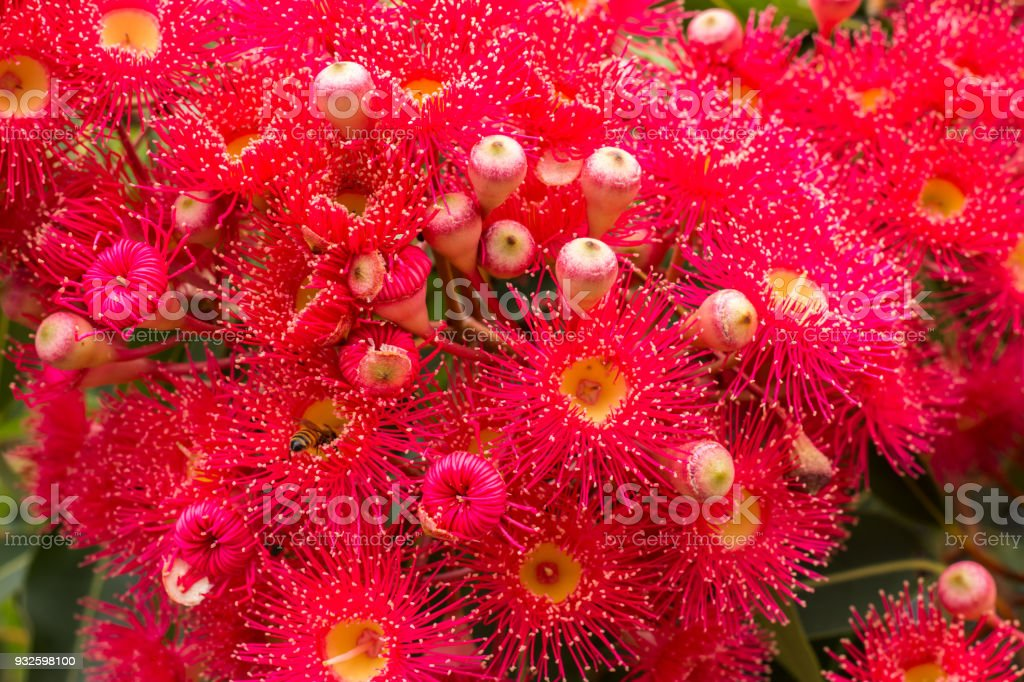 Red flowering gum blossoms of eucalyptus tree with honey bee collecting pollen stock photo